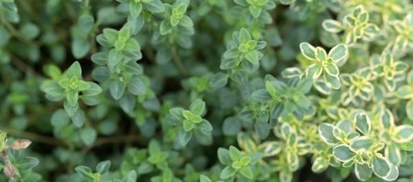 Coltivare il timo in casa: tre nuove varietà e il loro uso ...