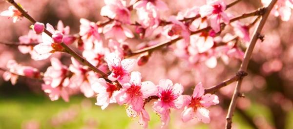 Albero di ciliegio consigli per la coltivazione in giardino for Pianta di ciliegio