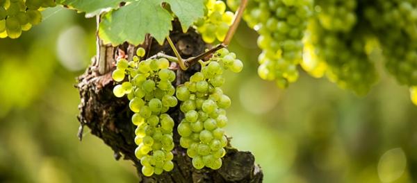 Uva da tavola matilde caratteristiche e coltivazione - Uva da tavola coltivazione ...
