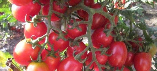 vendita piantine di pomodoro datterino innestato vaso 14