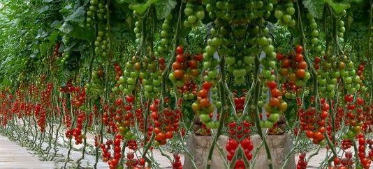 Vendita piantine di pomodoro fragolino vaso 10 online for Piante pomodori in vaso