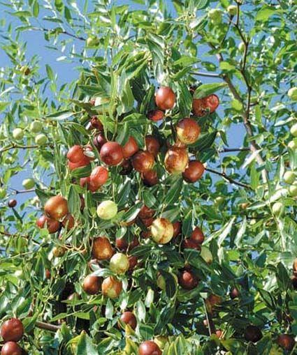 Alberi da frutto in alberi da frutto da coltivare for Vendita alberi da giardino online