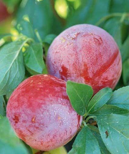 Vendita piantine di susino santa rosa online for Piante antiche da frutto
