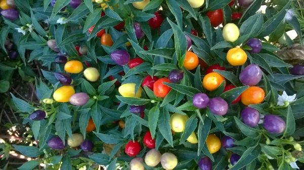 Vendita piantine di peperoncino ornamentale multicolor online for Acquisto piante peperoncino