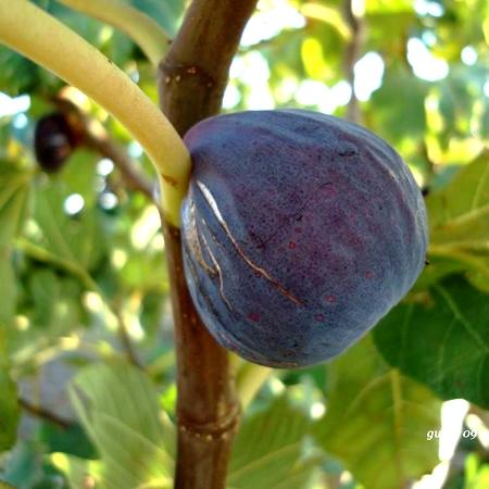 Vendita piantine di fico brogiotto nero online for Potatura piante da frutto